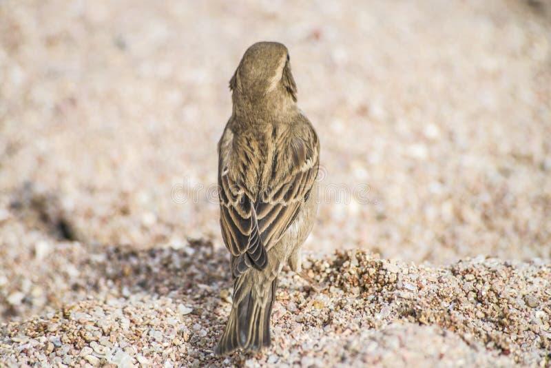 Bird On The Beach (sparrow) Stock Image