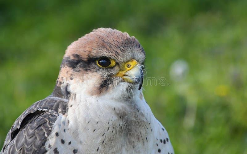 Bird, Beak, Falcon, Fauna royalty free stock image