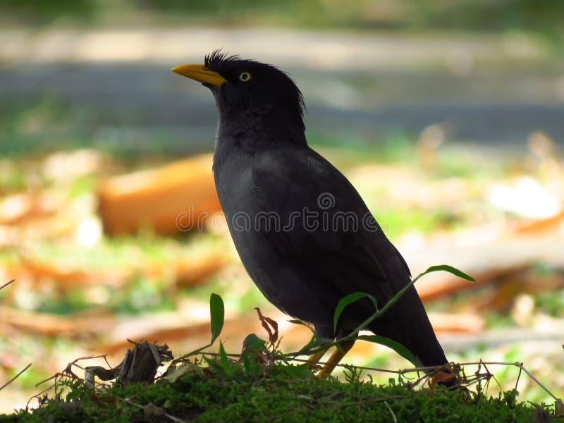 Bird, Beak, Fauna, Blackbird Free Public Domain Cc0 Image