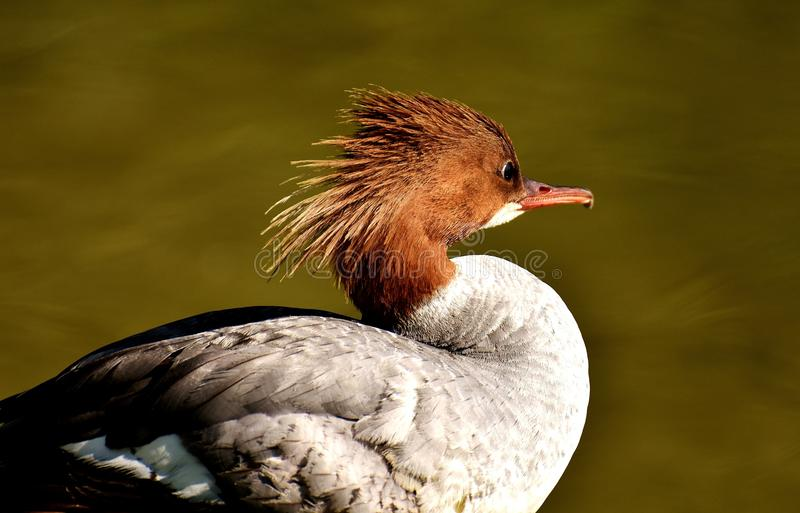 Bird, Beak, Fauna, Duck stock photos