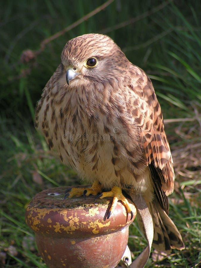 Bird, Beak, Fauna, Falcon stock image