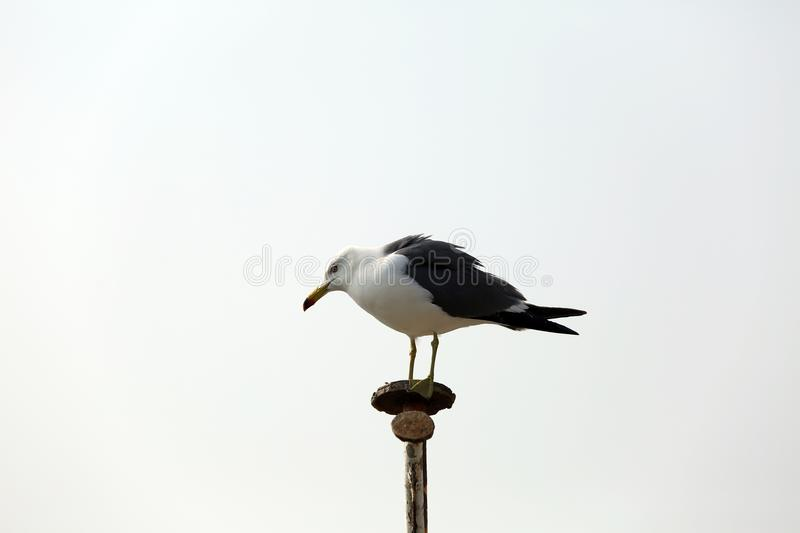 Bird, Beak, Fauna, Seabird royalty free stock image