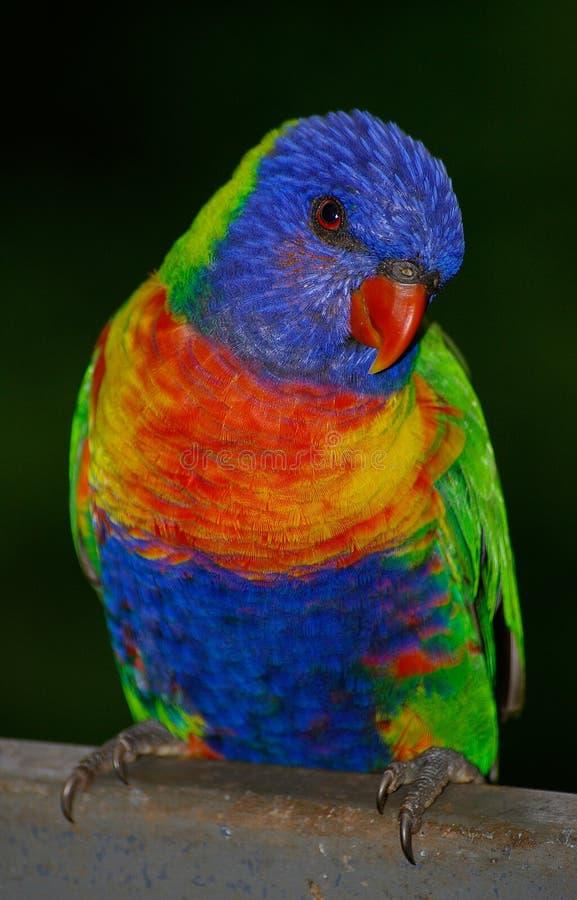 Bird, Beak, Lorikeet, Parrot stock photography