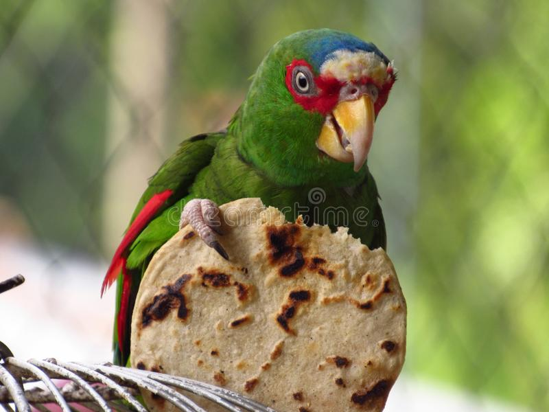 Bird, Beak, Parrot, Fauna royalty free stock photography