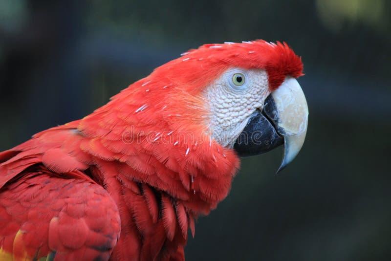 Bird, Beak, Red, Parrot royalty free stock photo