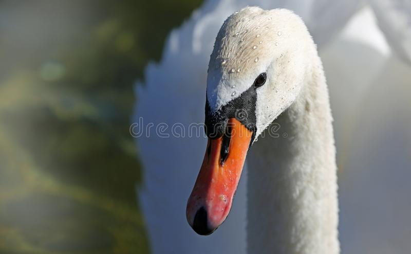 Bird, Beak, Swan, Water Bird royalty free stock image