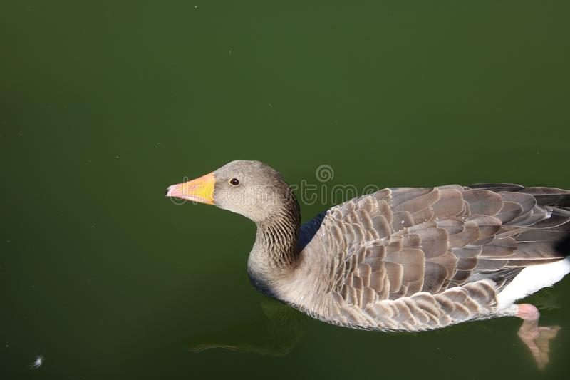 Bird, Beak, Water Bird, Water royalty free stock images