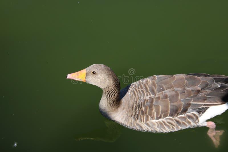 Bird, Beak, Water Bird, Water royalty free stock images