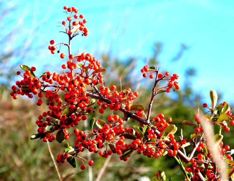 Bird berries royalty free stock photos