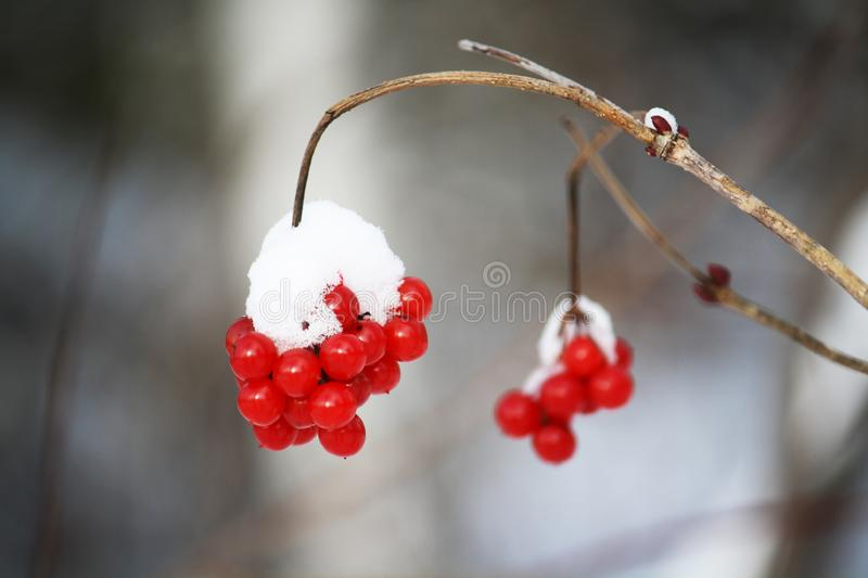 Bird berries in winter - Covered in snow stock image