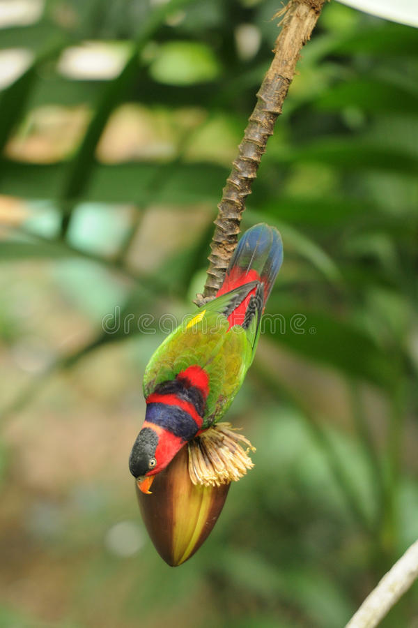 Bird --- Black-capped Lory. Black-capped Lory is an endangered species, this lory is now living in Edward Youde Aviary at Hong Kong Park. the picture shows the stock photo
