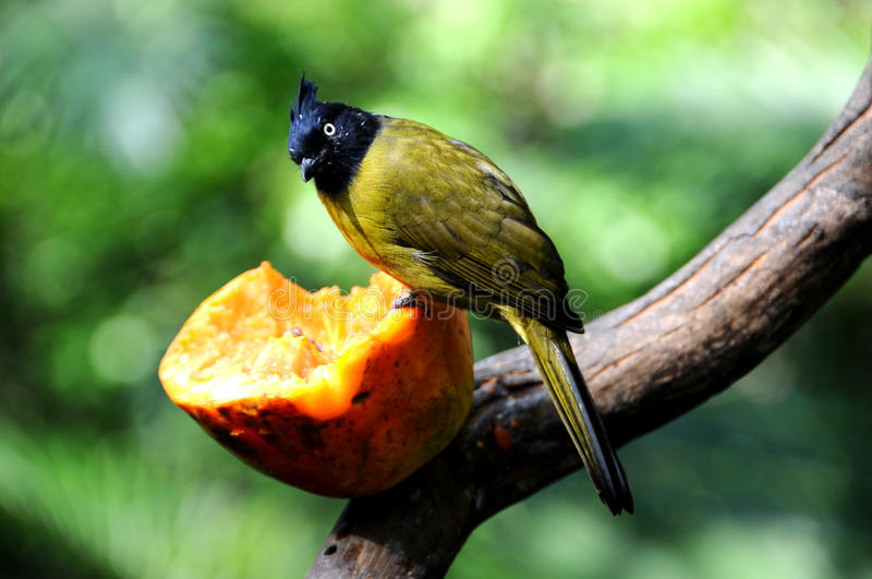 Bird --- black-crested yellow bulbul. A bird enjoyed its friut taken day:14/10/2008 stock photo