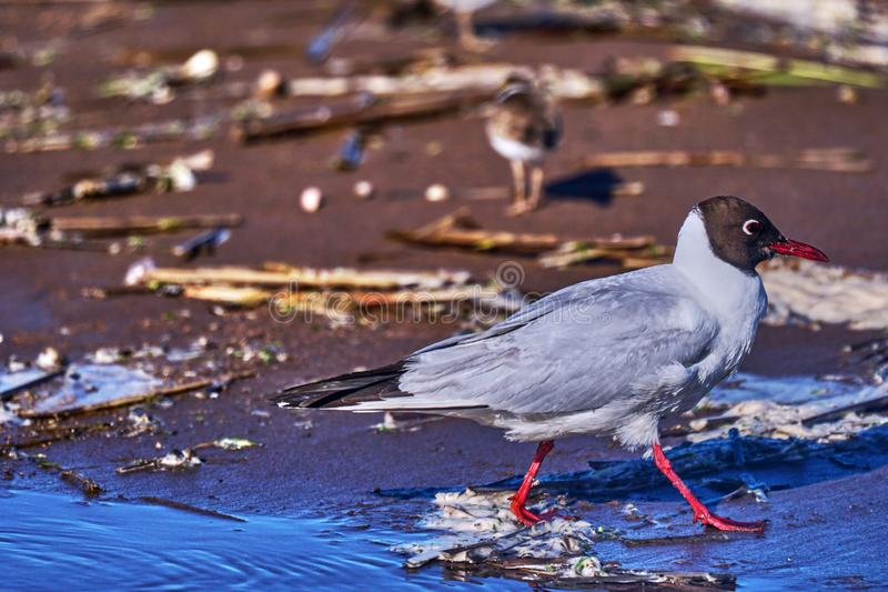 The bird, a  black-headed gull, walks in shallow water, searches for food, and eats. Sunny summer morning, strong wind. Close-up stock images