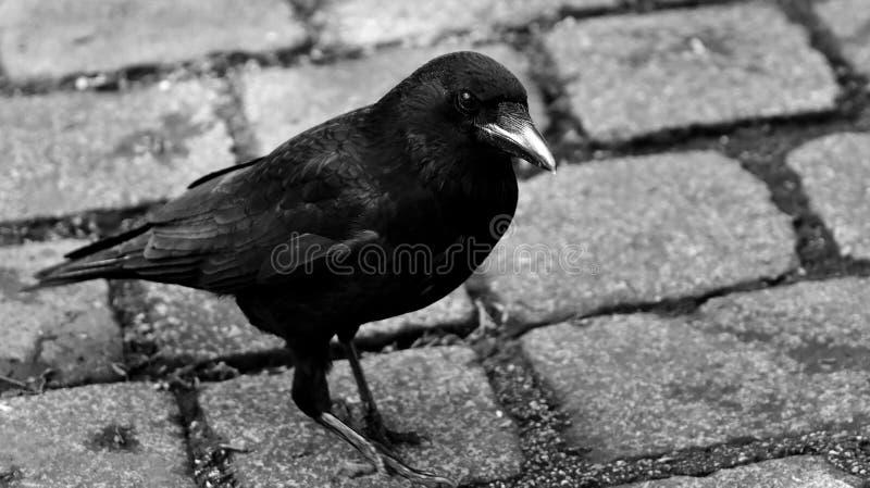 Bird, Black And White, Beak, Fauna royalty free stock photography