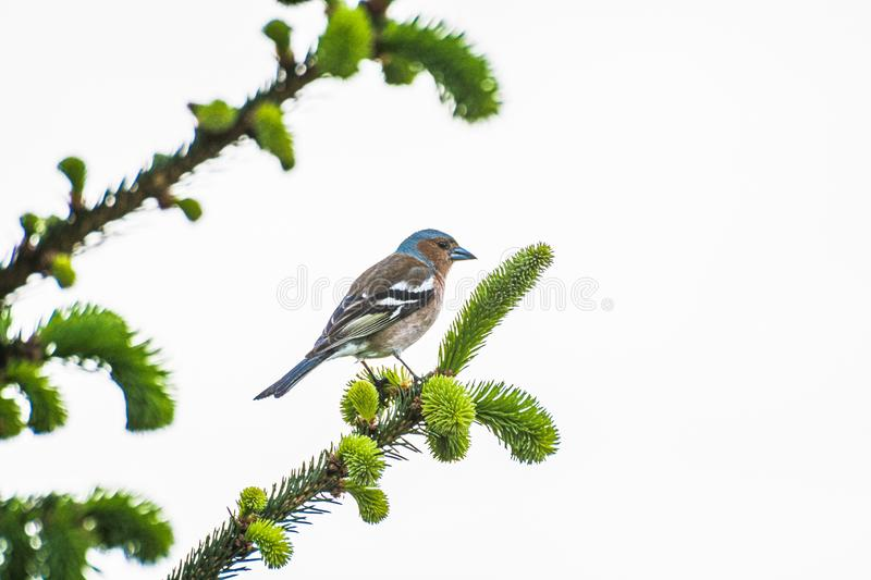 Bird with blue beak sitting on the tree in Ordu. Turkey royalty free stock image