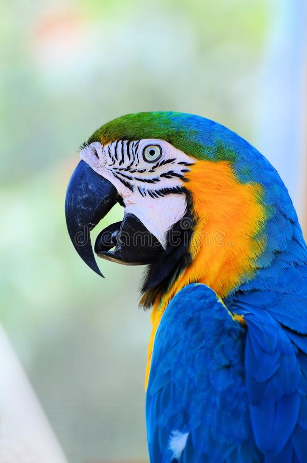 Download Bird, blue-and-gold macaw stock image. Image of gold - 24562947