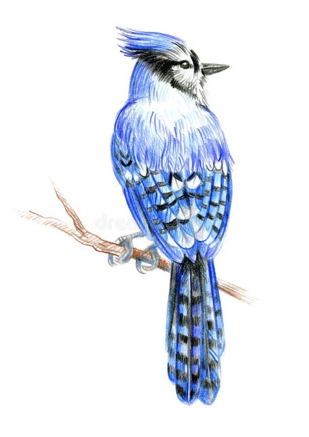 Free Bird Blue Jay Royalty Free Stock Photography - 168808907
