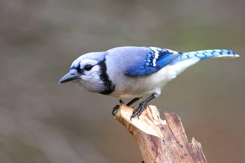 Bird - Blue Jay. On a perch in winter stock photo