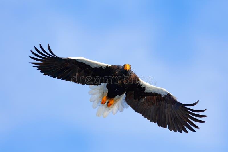 Bird on the blue sky. Steller`s sea eagle, Haliaeetus pelagicus, flying bird of prey, with blue sky in background, Hokkaido, Japan. Asia stock photo