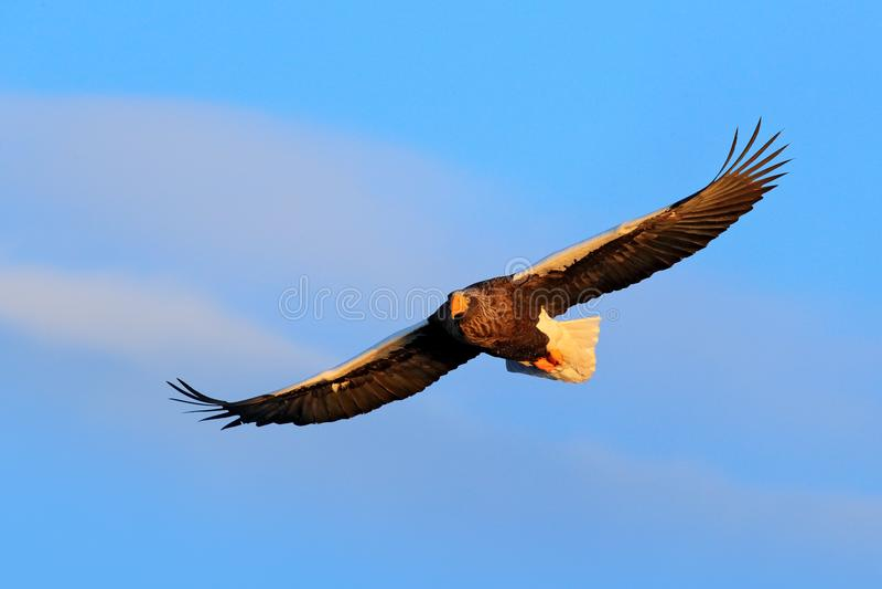 Bird on the blue sky. Steller`s sea eagle, Haliaeetus pelagicus, flying bird of prey, with blue sky in background, Hokkaido, Japa. N, Asia royalty free stock images