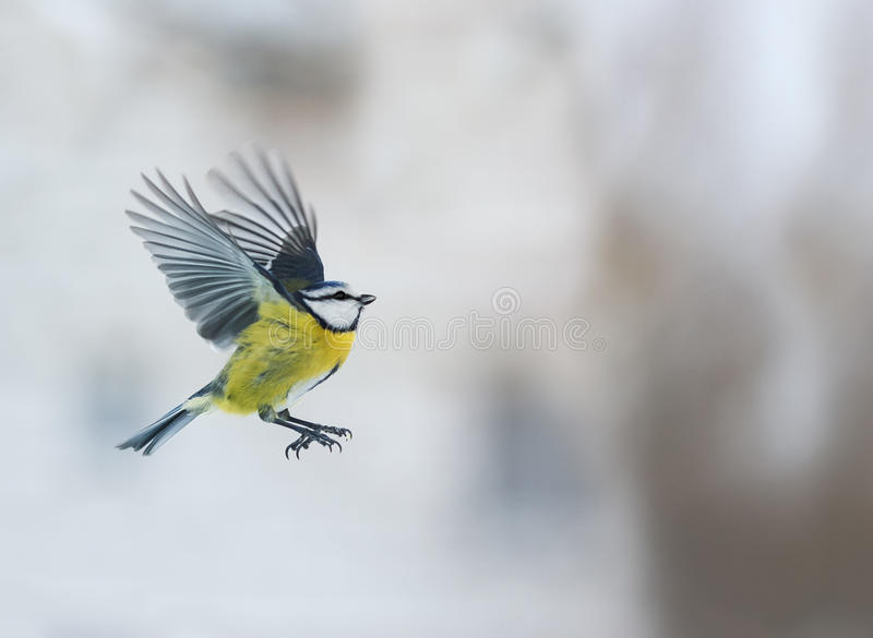 Bird blue tit flying up with its wings outstretched. Little bird blue tit flying up with its wings outstretched royalty free stock photography