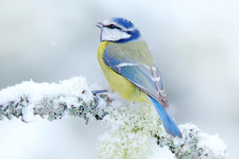 Bird Blue Tit in forest, snowflakes and nice lichen branch. Wildlife scene from nature. Detail portrait of beautiful bird, France, royalty free stock photos