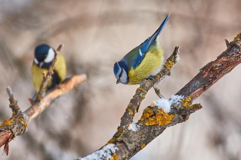 Bird - Blue tit sitting on a branch covered with lichen in the winter forest on a background of other tits stock photo