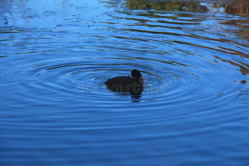 Bird in the blue water ripple stock photo