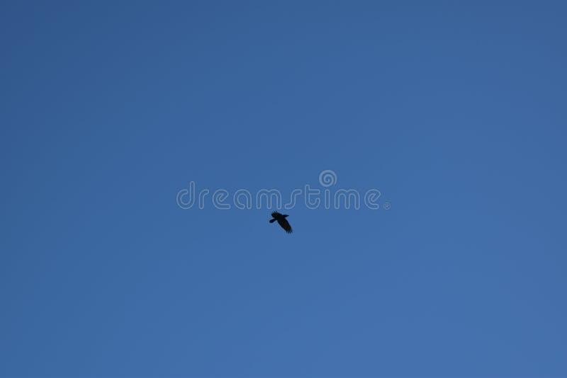 Bird in a blue sky. A bird in a blue winter sky stock images