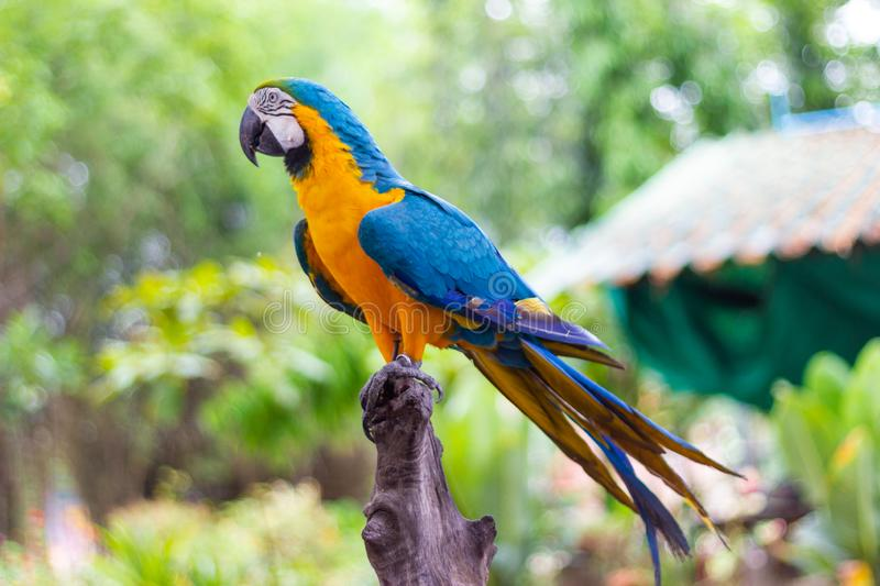 Bird Blue and yellow Macaw on a branch of tree. Close up Bird Blue and yellow Macaw on a branch of tree at nature royalty free stock photo