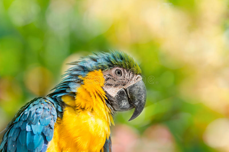 Bird. Blue and yellow macaw portrait stock photography