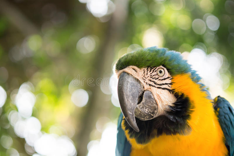 Bird. Blue and yellow macaw portrait royalty free stock images
