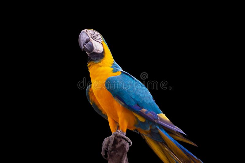Bird Blue and yellow macaw standing on branches. Isolated black background stock photo