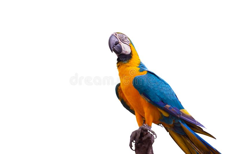 Bird Blue-and-yellow macaw standing on branches stock image