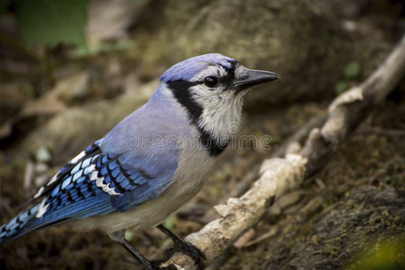 Bird - bluejay on branch stock photo