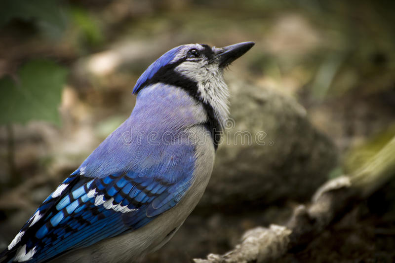 Bird - bluejay on branch royalty free stock photography