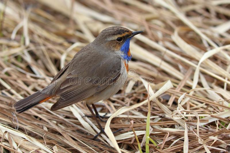 Bird Bluethroat Luscinia svecica male  sits on a dry reed. On the bank of the pond stock images