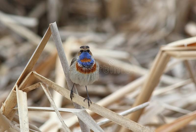 Bird Bluethroat Luscinia svecica male  sits on a dry reed. On the bank of the pond royalty free stock photos