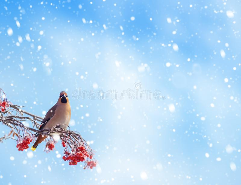 Bird on branch of mountain ash. Background with bird waxing on branch of frozen mountain ash stock photos