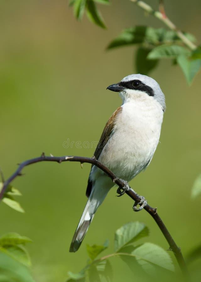 Bird On A Branch Shrike Royalty Free Stock Photo