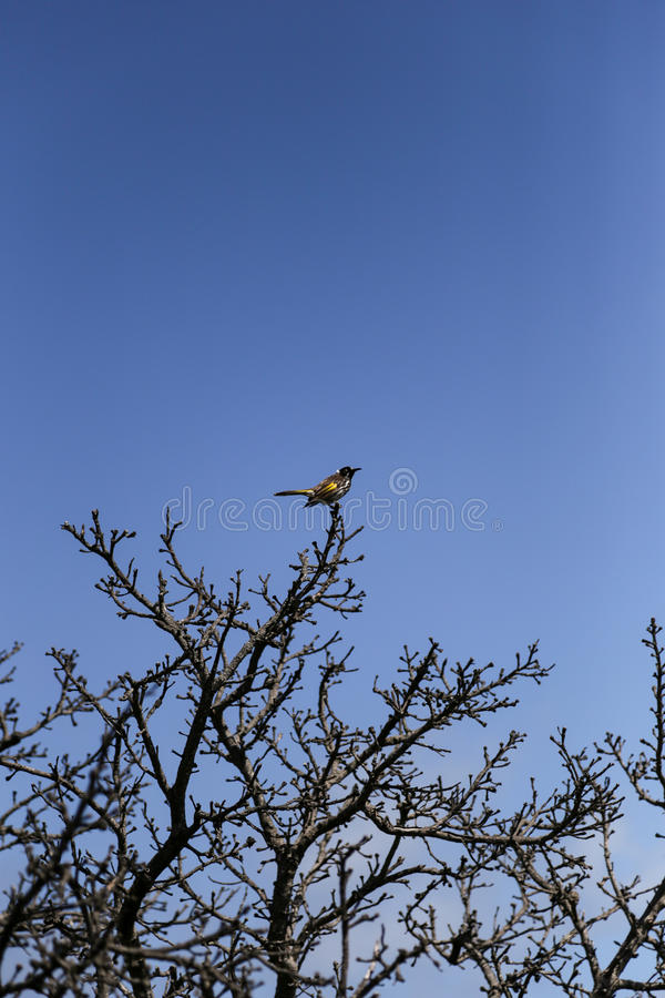 Bird on A Branch. A Bird staying on top of a thorny tree branch, ready to take flight to the blue sky stock photography