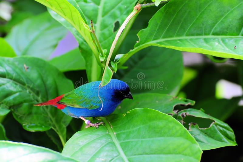 Bird, bright blue-faced parrotfinch. A very colorful bird standing on a leaf in an aviary in Butterfly World, South Florida. The Blue-faced Parrotfinch is found royalty free stock image