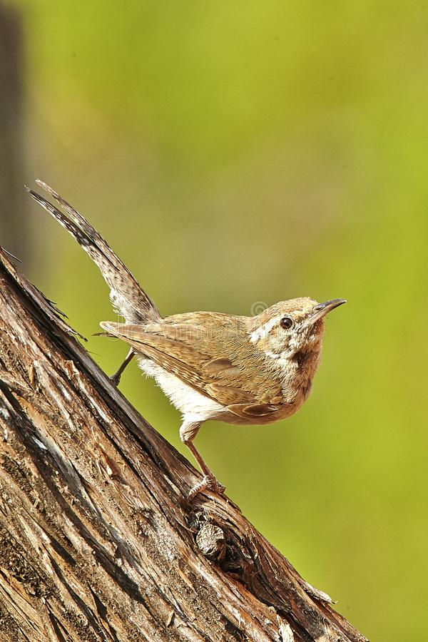 Bird. Brown house wren stock photos