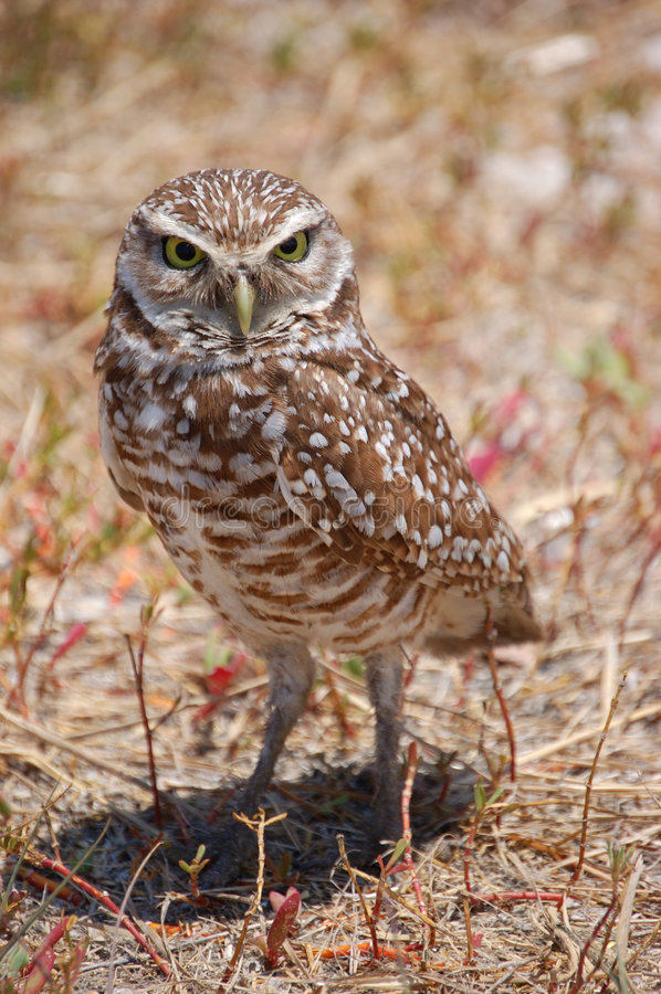 Bird - Burrowing Owl. A fierce looking burrowing owl stands guard stock photography