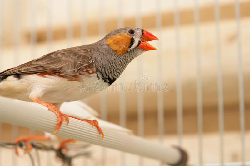 Download Bird in cage stock photo. Image of canary, cell, adorable - 10211616