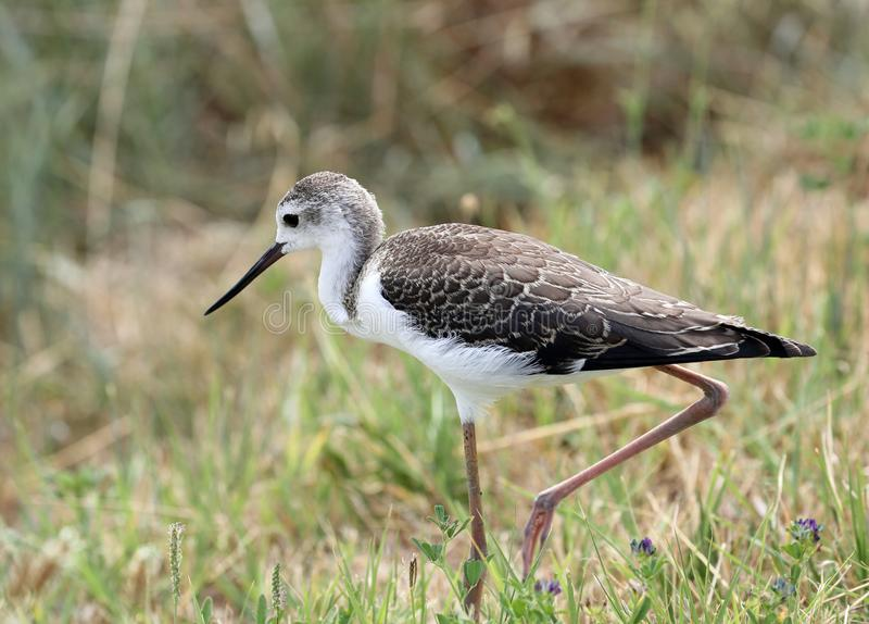 Bird called Black winged stilt with a beak walking with paws in royalty free stock photo