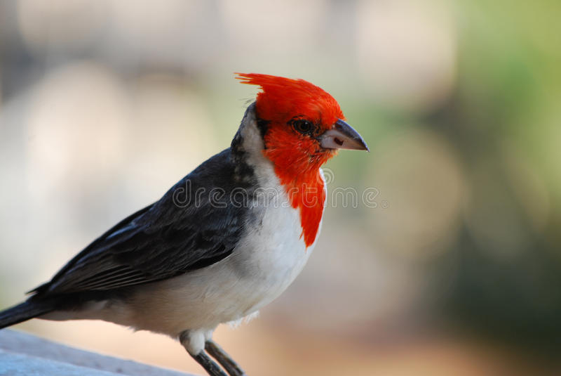 Bird cardinal con cresta rojo hermoso en una verja fotografía de archivo