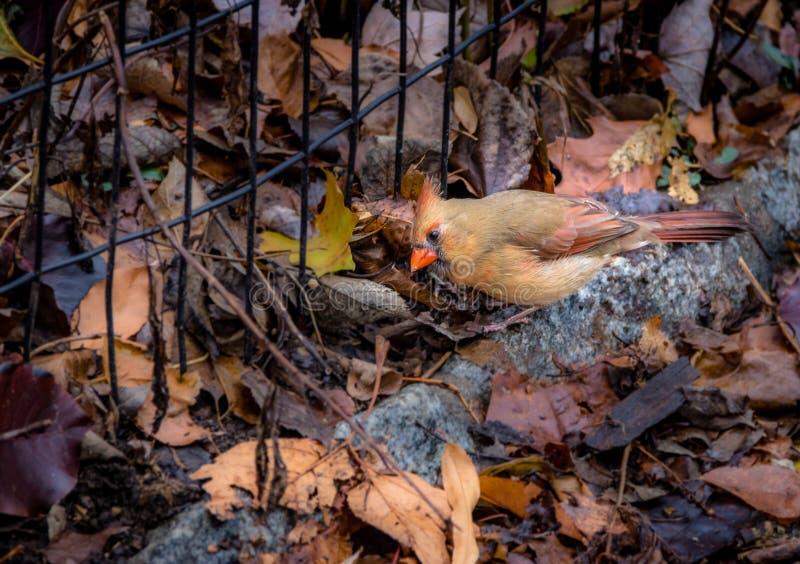 Bird cardinal du nord féminin au Central Park - New York, Etats-Unis photographie stock
