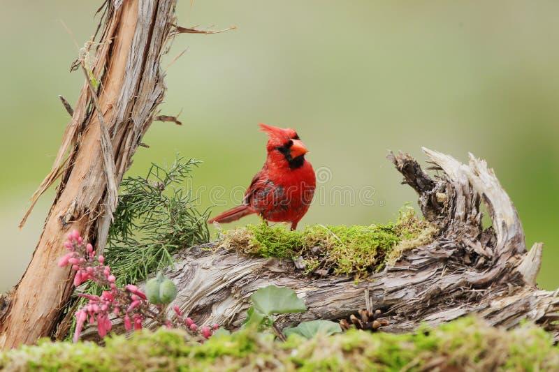 Bird. Cardinal northern bird stock photos