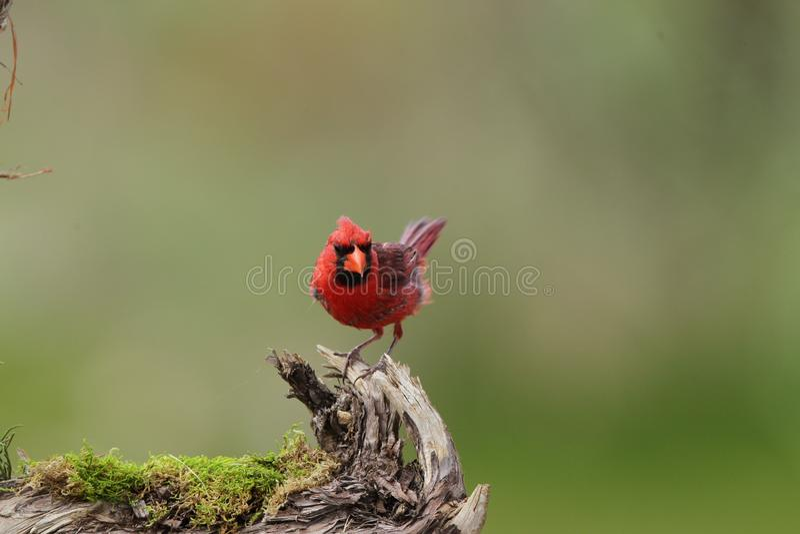 Bird. Cardinal northern bird royalty free stock images